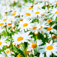 Serviettes lunch Flield of Daisies