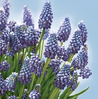 Lunch napkins Muscari Bunch