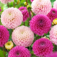 Lunch napkins Dahlia Pink