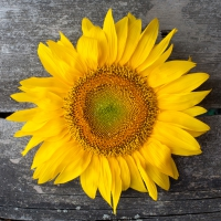 Lunch napkins Sunny Sunflower