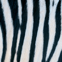 Servilletas Lunch Zebra Couture