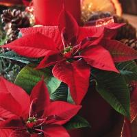 Lunch napkins Estrella de Navidad