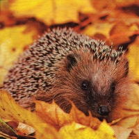 Serviettes lunch Hedgehog in Maple Leafs
