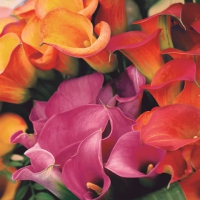 Lunch napkins Multicolored Callas