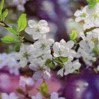 Servilletas Lunch Blossoming Cherry Branch