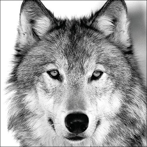 Everyday,  Tiere -  Sonstige,  Everyday,  lunchservietten,  Wolf