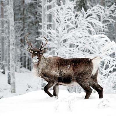 Servietten,  Tiere - Reh / Hirsch,  Winter - Schnee,  Weihnachten,  lunchservietten,  Hirsch