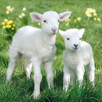 Lunch Servietten LAMBS,  Tiere - Schafe,  Everyday,  lunchservietten,  Schafe