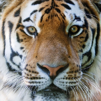Servietten,  Tiere - Tiger,  Everyday,  lunchservietten,  Tiger
