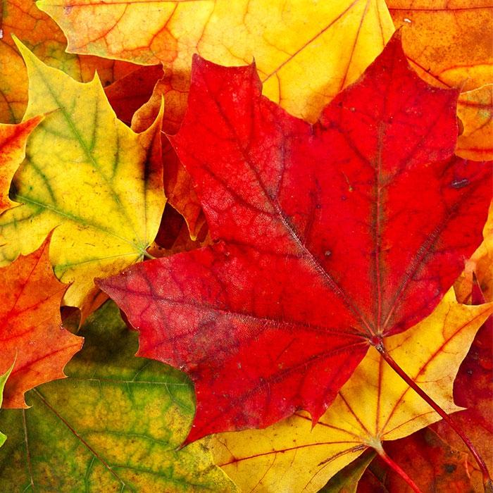 Lunch Servietten Maple Leaves