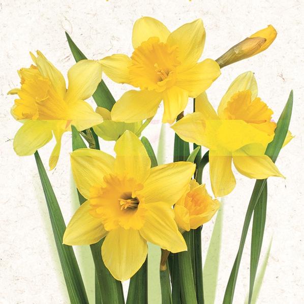 Servietten Frühjahr,  Blumen - Osterglocken,  Frühjahr,  lunchservietten,  Narzissen