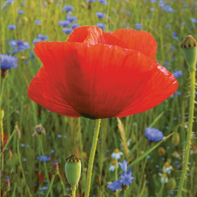 Servietten Blumenmotive,  Blumen - Mohn,  Everyday,  lunchservietten,  Mohn