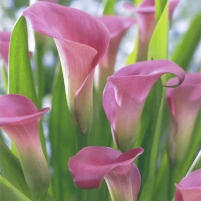 Lunch Servietten Pink Calla,  Blumen -  Sonstige,  Everyday,  lunchservietten