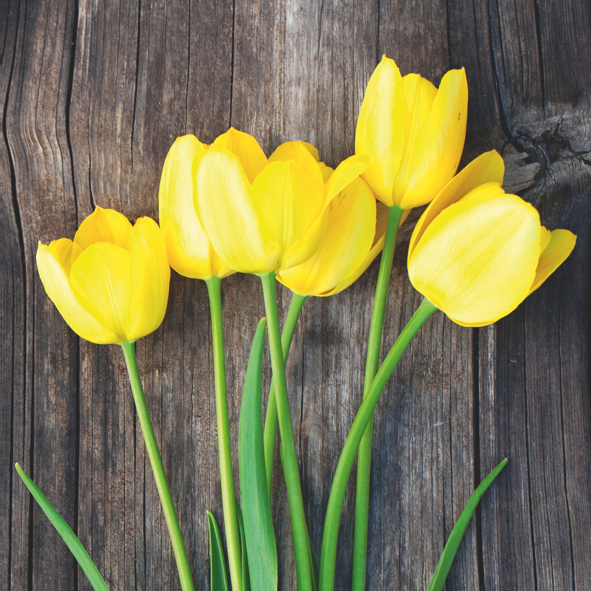 Servietten nach Motiven,  Blumen - Tulpen,  Everyday,  lunchservietten,  Tulpen