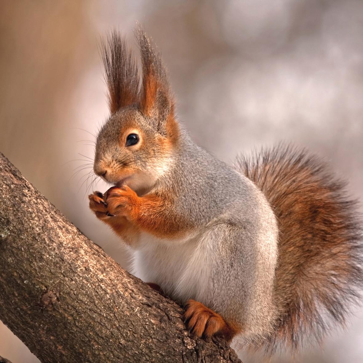 Lunch Servietten Cute Squirrel,  Tiere - Eichhörnchen,  Everyday,  lunchservietten,  Eichhörnchen