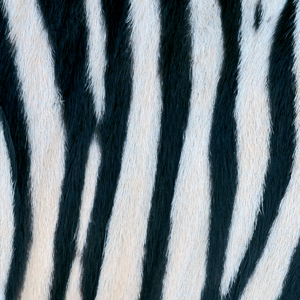 20 Servietten - 33 x 33 cm ,  Tiere - Zebras,  Regionen - Afrika,  Everyday,  lunchservietten
