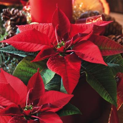 ti-flair,  Blumen - Weihnachtsstern,  Weihnachten,  lunchservietten,  Weihnachtsstern